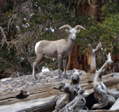 Sierra Nevada Bighorn Sheep, an endangered species