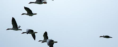 Geese in formation-someone has to lead!